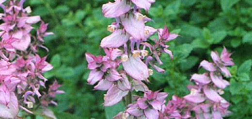 Salvia officinalis L.