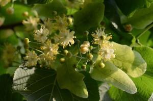 Tilia cordata, Tilia platyphyllos
