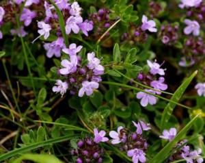 Thymus sp. Diversa L.